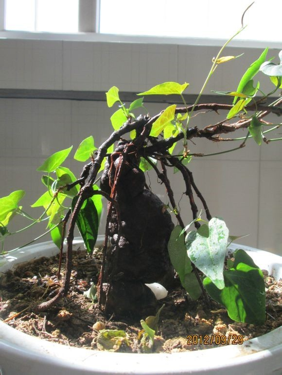 Polygonum Multiflorum Seed ZHONG WEI Horticultural