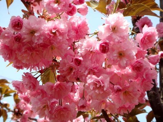 Japanese Flowering Cherry Tree Seeds Prunus Serrulata