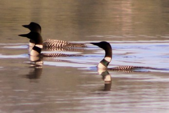 Loons in Minnesota waiting for your call...