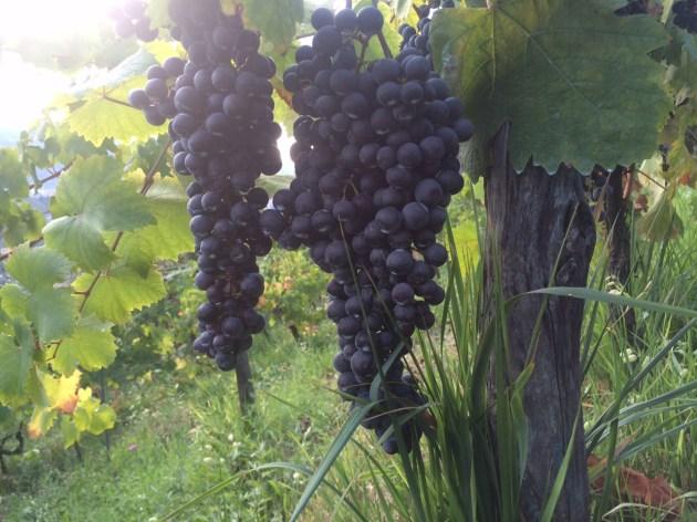 Uno splendido grappolo di uva nera nei filari dell'Azienda Agricola L'Altra Donna a Strettoia