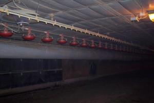 Inside Frye Poultry barn