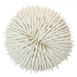Fungia Coral