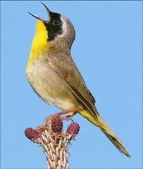 bird with yellow chest