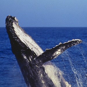 Be On The Lookout For Entangled Whales!
