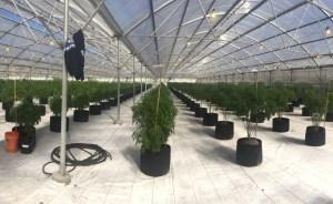 HMB City Council Sends Cannabis to Ballot in November