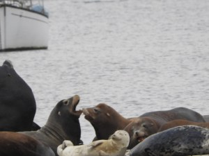 Ambassador Smiley the Harbor Seal Mixes with the Sea Lions in HMB Harbor