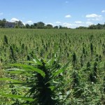 Want to Grow Hemp? HMB City Staff and Council are Thumbs Up.