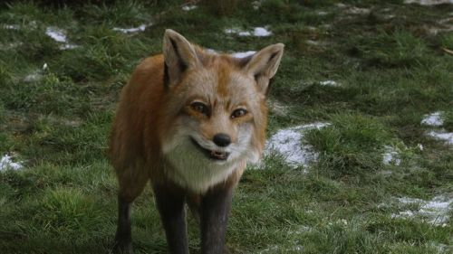 narnia talking fox