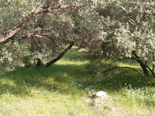 oliviers à Mljet © cocineraloca.fr