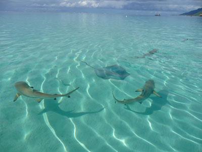 requins et raie à Moorea