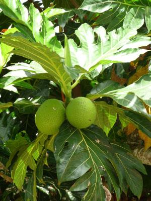 Uru : fruit de l'arbre à pain