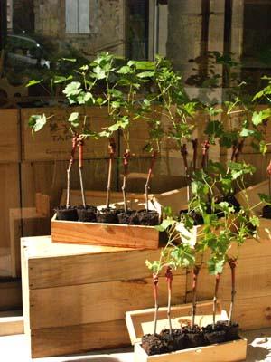 mini vigne ©cocineraloca.fr