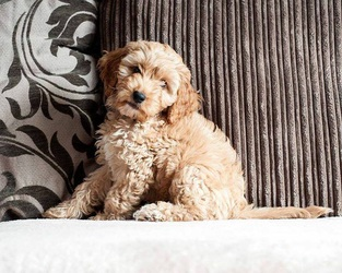 Cockapoo Owners Club UK About Us