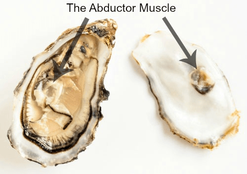 an oysters abductor muscle