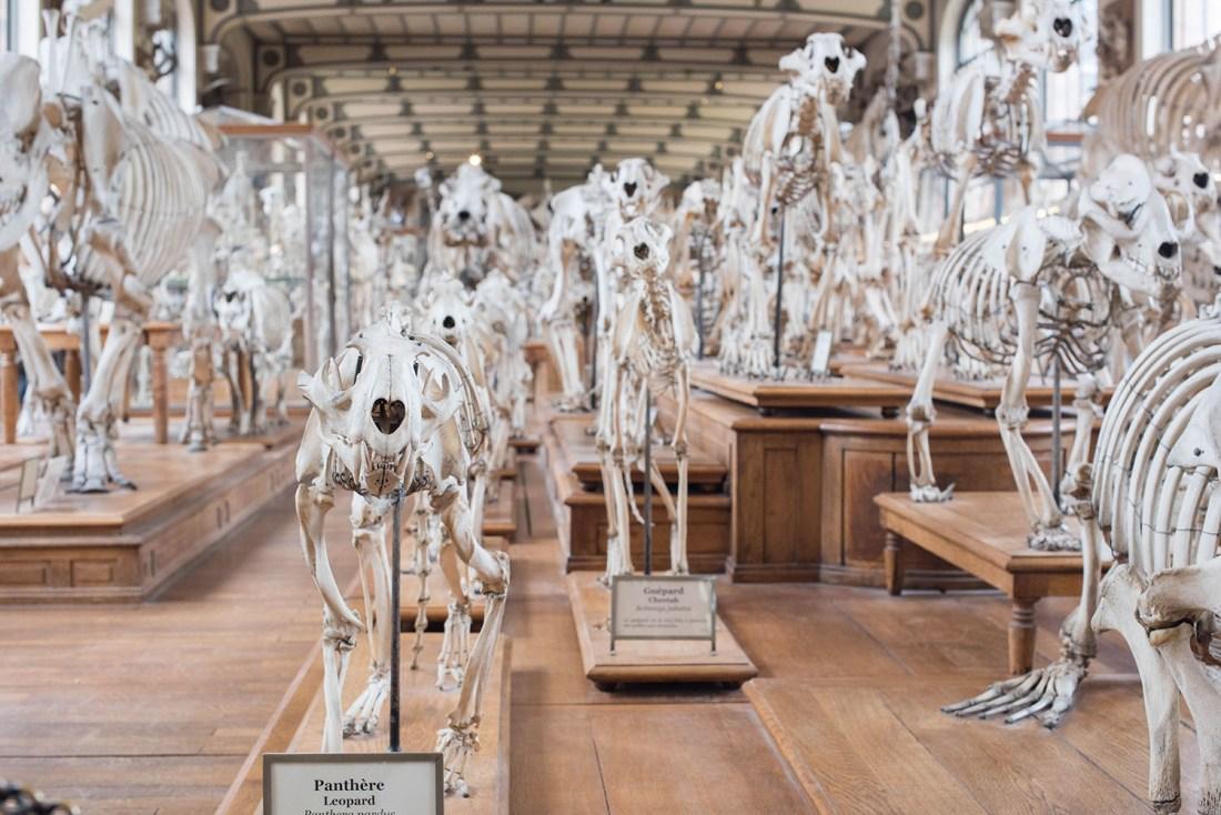 skeletons at the galerie de paleontologie de d'anatomie comparee at the jardin des plantes in Paris