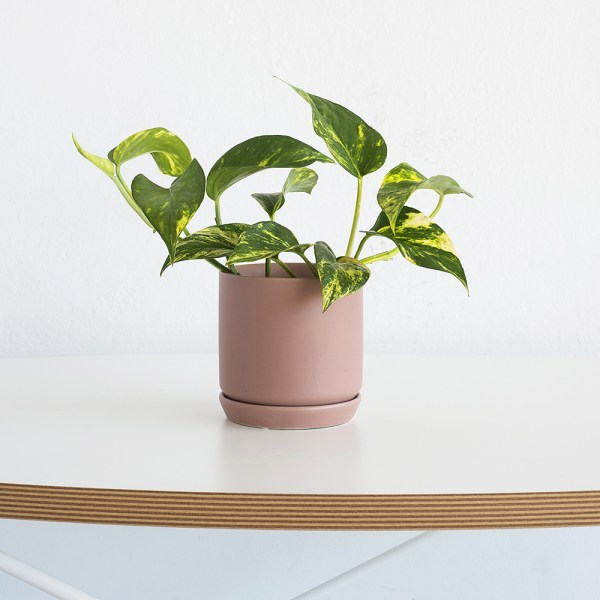 popular greenery plant - devil's ivy potted into a trendy dusty rose planter
