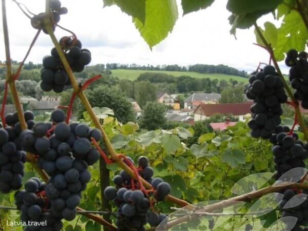 Sabila Latvia Wine Grapes