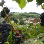 Sabila Latvia Wine Grapes