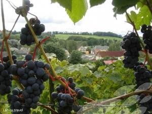 Sabile Wine Grapes
