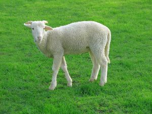 Lamb standing in a grassy field