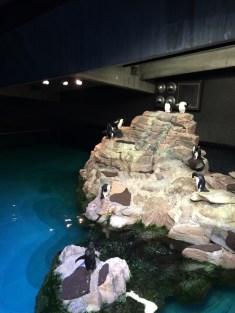 rockhopper penguins!