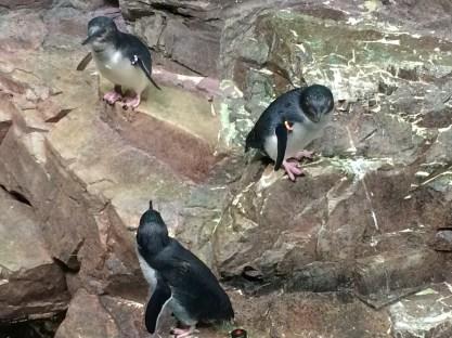little blue penguins!