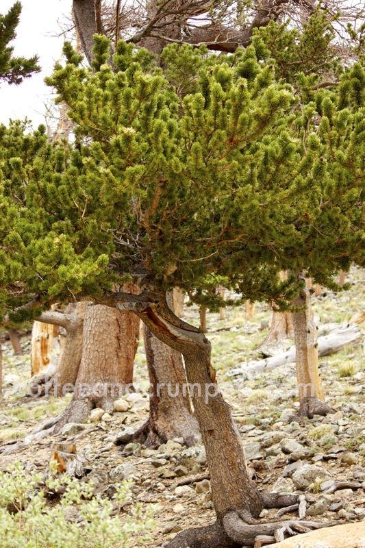 St Mary's Glacier twisty tree