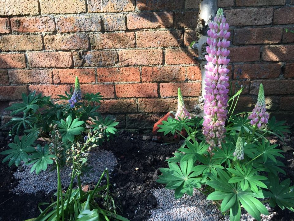 May WIPS pink lupins in the garden
