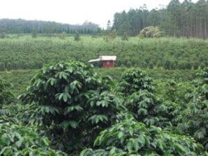 Kau coffee farms