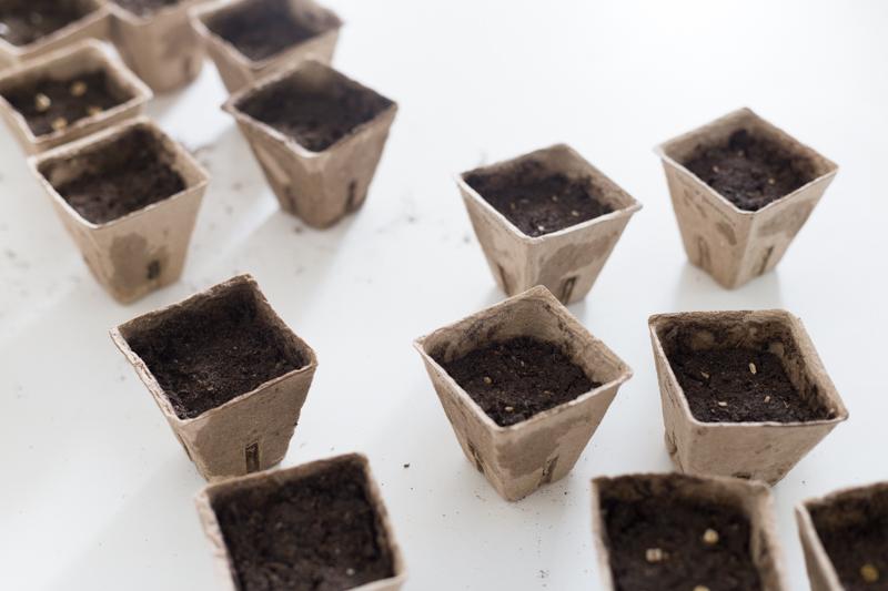 esikasvatus, taimien kasvatus siemenestä, kukkia ja hyötykasveja puutarhaan