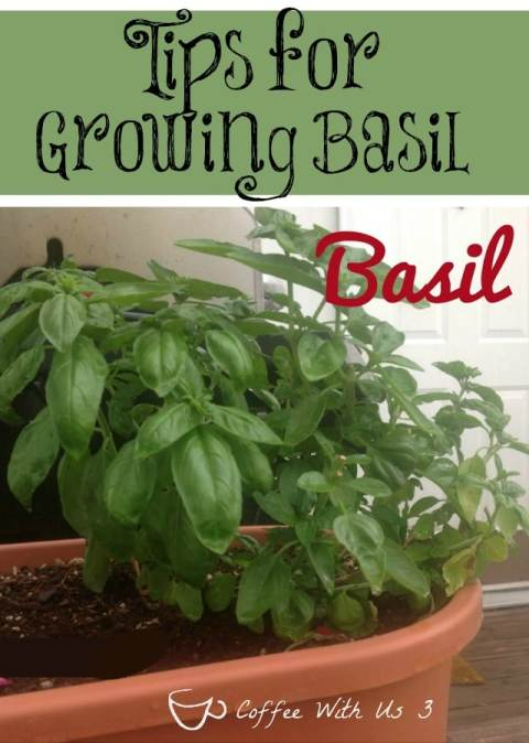 Do you know how to care for your Basil? How about what part to harvest first? Check out these Growing Basil Tips and learn that and more!
