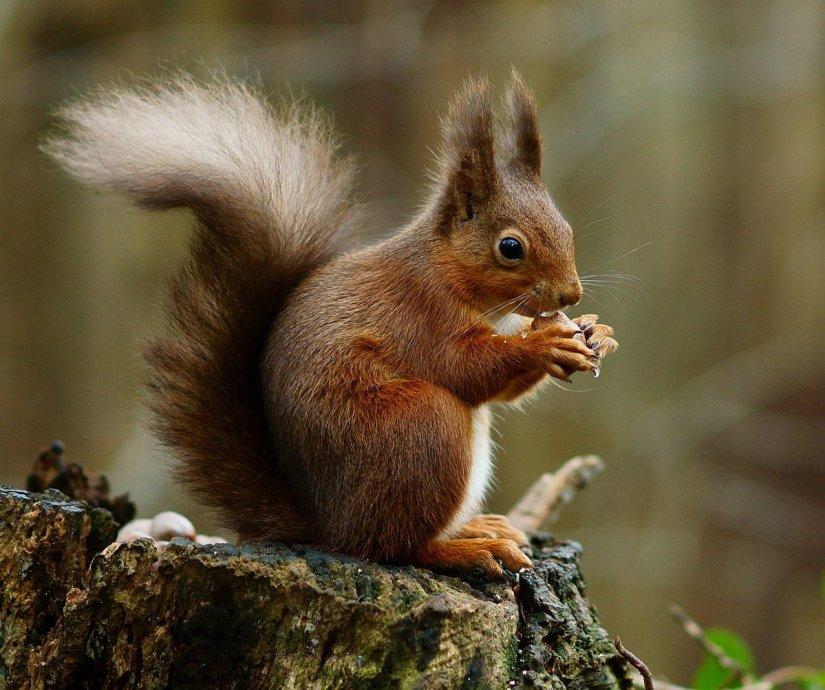 esquilo vermelho de Hokkaido