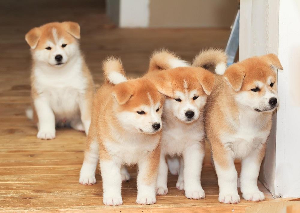 filhotes Akita