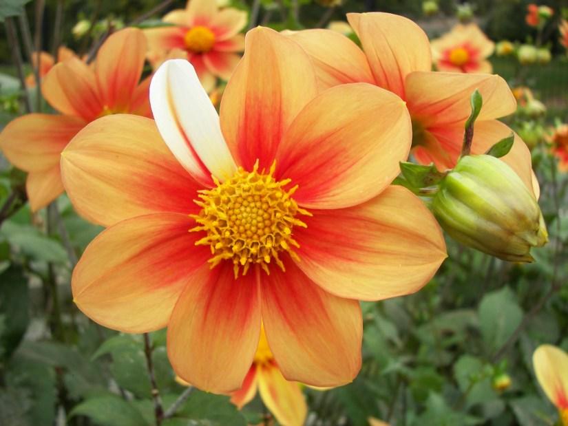 flor com pétala imperfeita