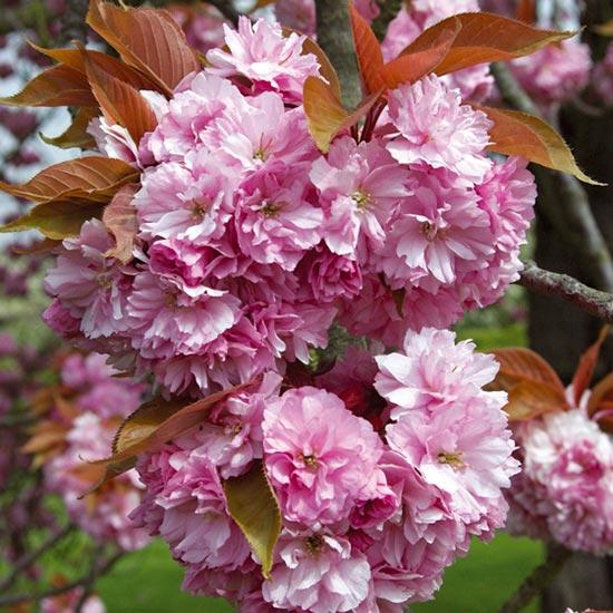 Prunus Kanzan Sakura