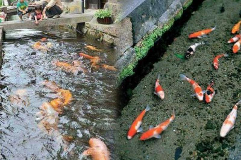 Peixe Koi em Harie