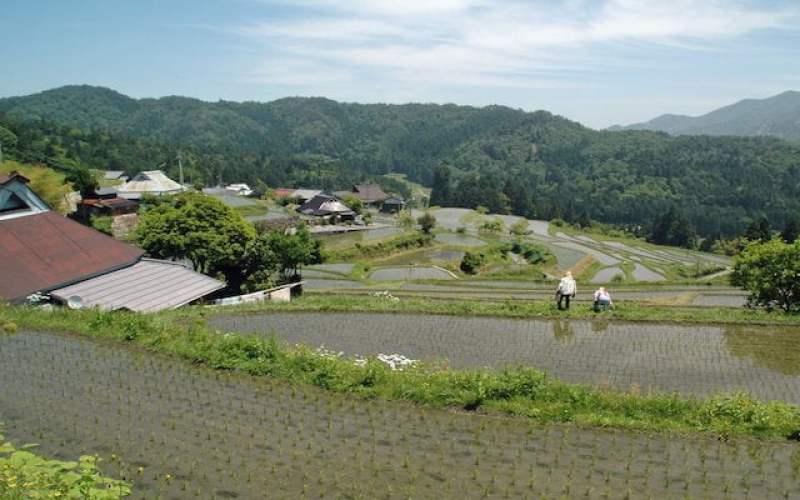 Plantação de arroz Harie