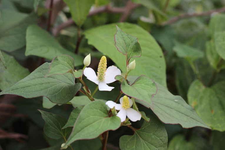 Planta Dokudami