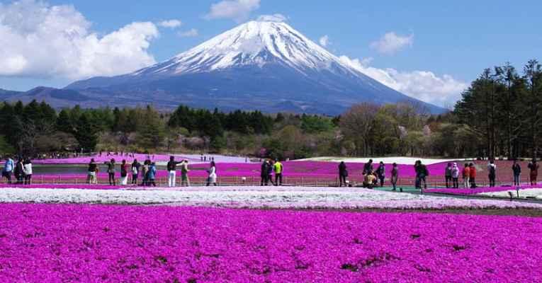Festival Fuji Shibazakura