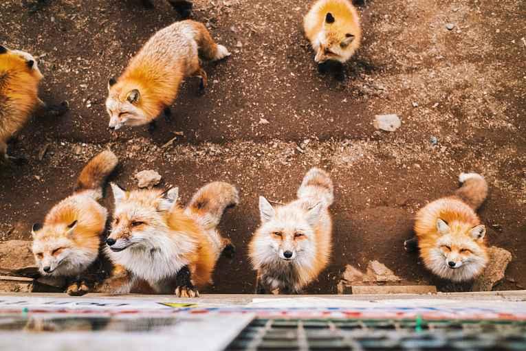 Raposas da vila Zao Fox