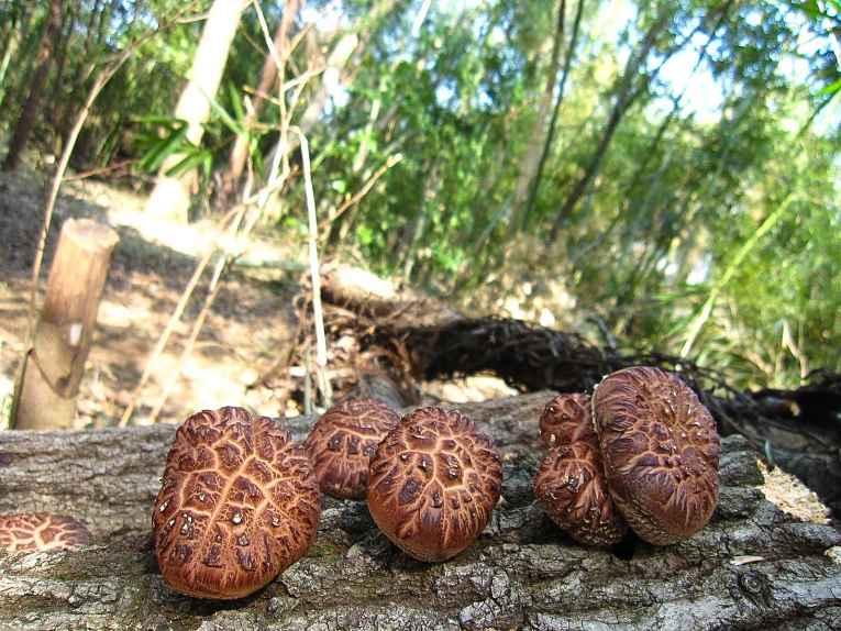Shiitake crescendo em tronco de carvalho