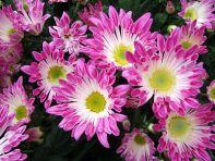 Krysantemum spiselige blomster