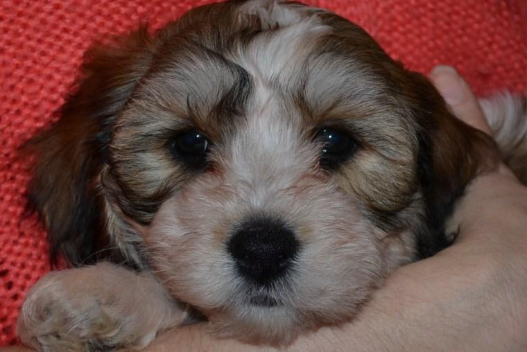 Charlie the Cavachon puppy