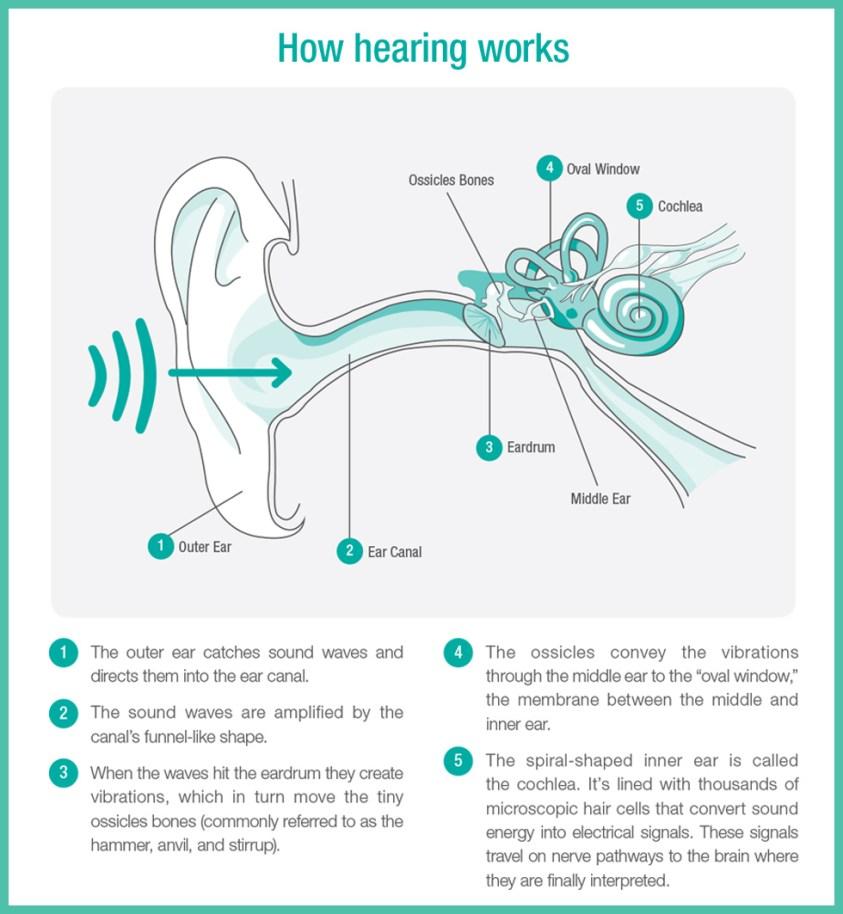 Ear Anatomy - Nacogdoches, TX - Cole Audiology Lab