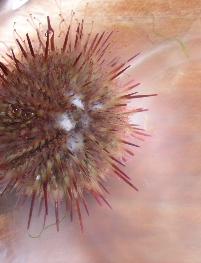 Experimental influence of pH on the early life-stages of sea urchins II: increasing parental exposure times gives rise to different responses