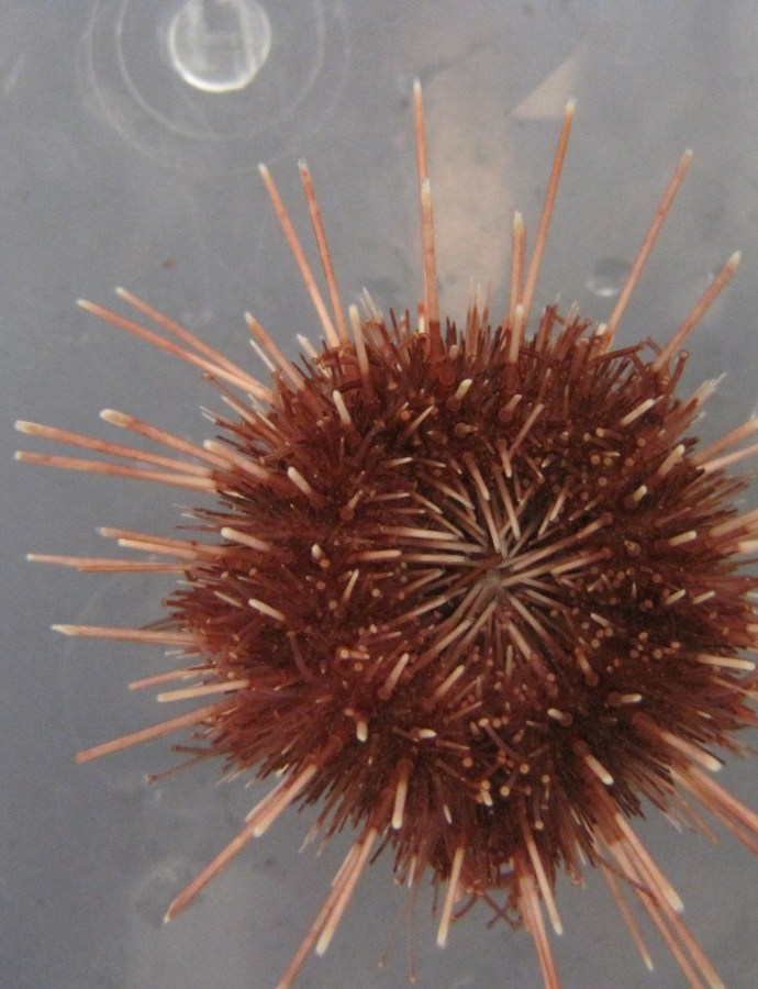 Antarctic sea urchins can adapt to future climate change!