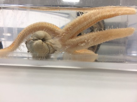 Starfish fighting for it's food!