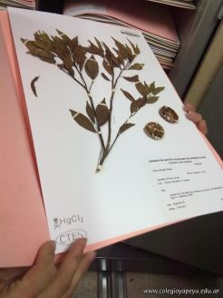 Determinacion taxonomica de una planta de mandarina 10