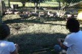 Visitamos un Criadero de Lechones 24