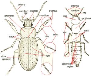 Beetle Morphology | UK Beetle Recording
